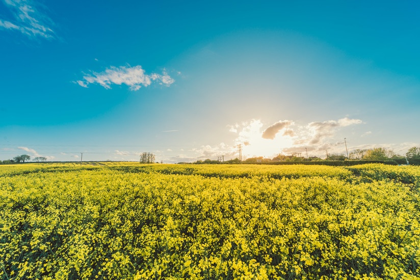 field-flowers-yellow-agriculture-large